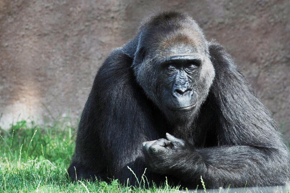 Weiterer Gorilla mit Corona infiziert: Hat er Löwen angesteckt?