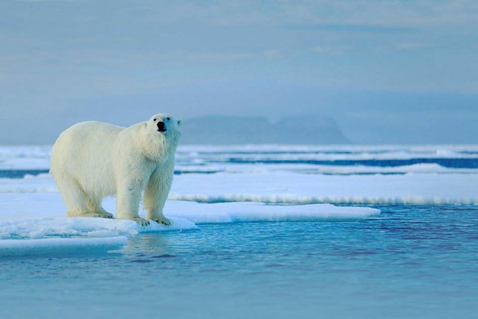 Der Eisbär gilt als König der Arktis. Weil er vom Packeis aus jagt, die Schollen aber zunehmend schmelzen, ist er wohl vom Aussterben bedroht.