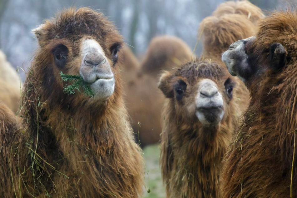 Im Tierpark Perleberg wurde am Sonntagmorgen ein Pfleger von einem Kamel gebissen. (Symbolfoto)