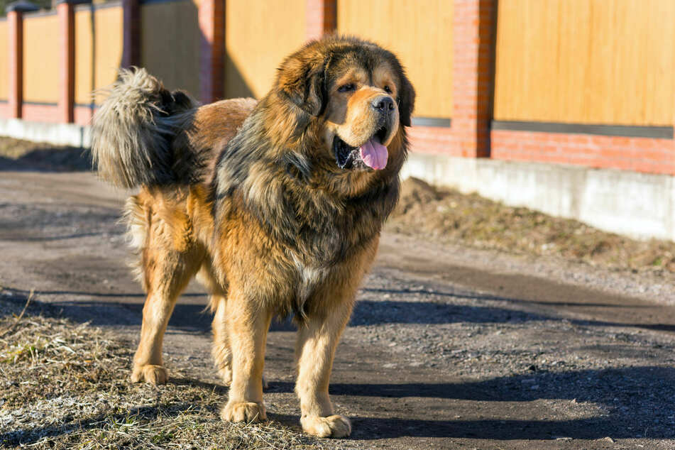 In China, Tibetan Mastiffs are considered a status symbol.
