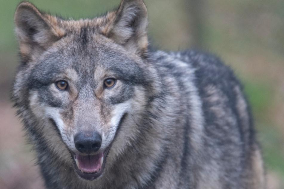 Ein neuer Wolf treibt im Norden sein Unwesen. (Archivbild)