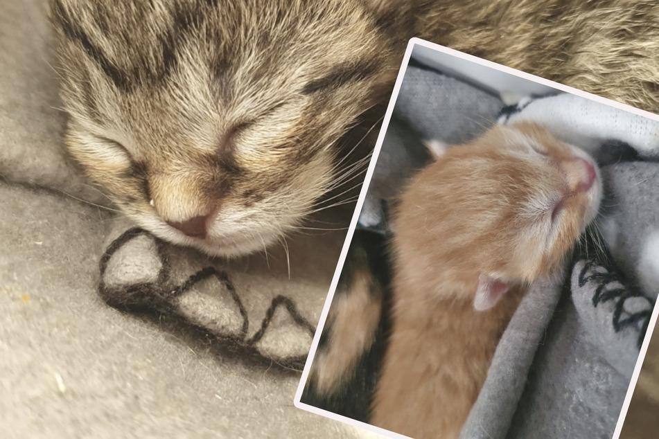 Hungrige Katzenkinder: Tierschutz braucht Unterstützung bei Milch-Nachschub