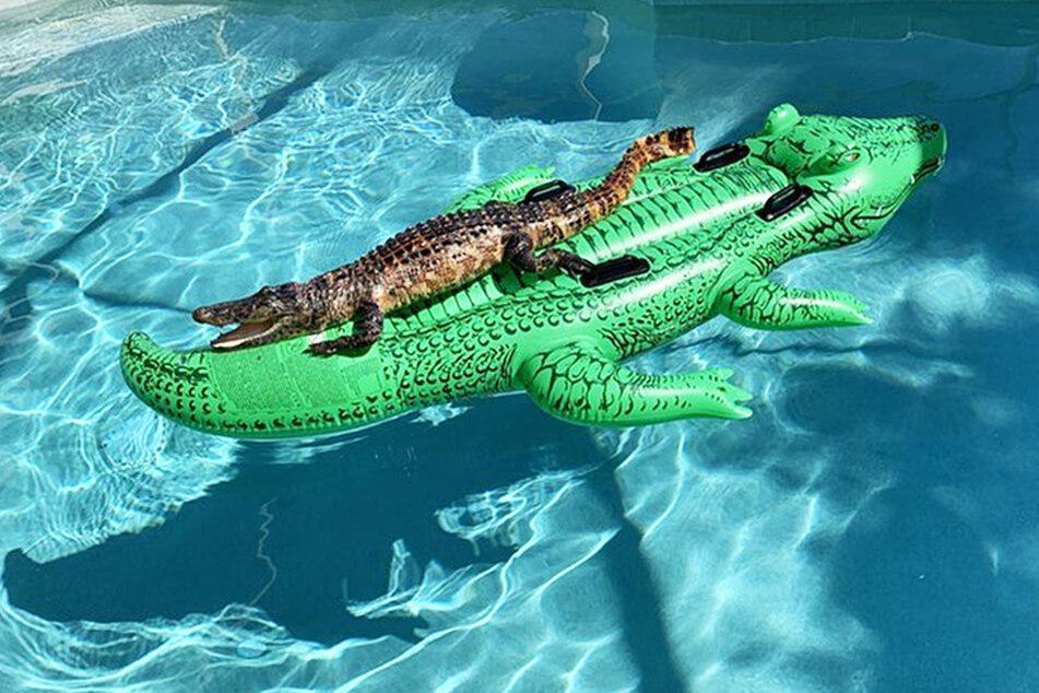 Der Alligator lag auf einer Alligatoren-Luftmatratze.
