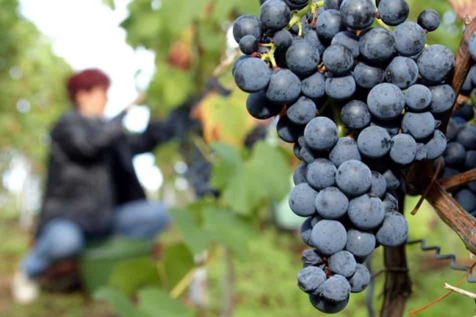 Wein-Affäre in Meißen weitet sich aus