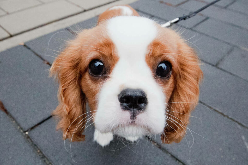 Ein Hund der Rasse Cavalier King Charles Spaniel schaut interessiert in die Kamera. Hunde reagieren besonders heftig auf den Konsum von THC. (Symbolbild)