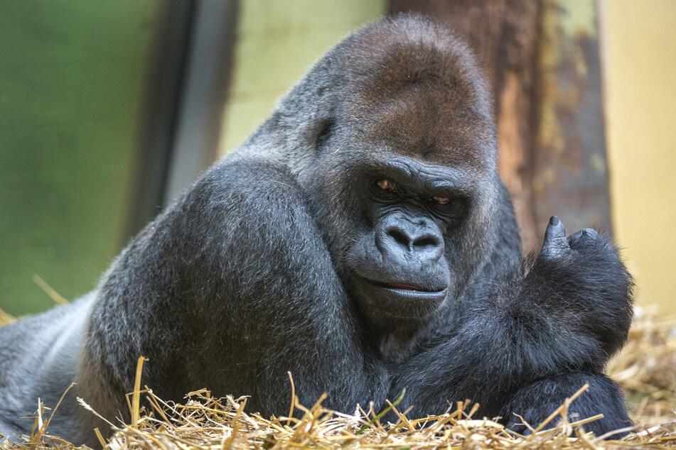 Ein Silberrücken Gorilla aus dem Züricher Zoo. Mit einem solchen Kaliber wollte sich Mike Tyson einst messen.
