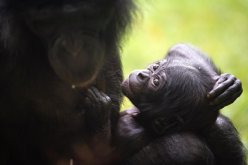 Seit seiner Geburt am 4. Juli im Zoo Köln habe das Bonobo-Junge sich gut entwickelt.