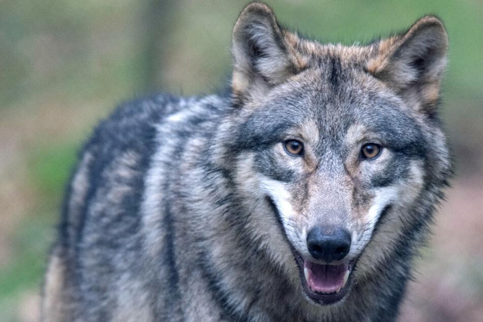 """Er riss zahlreiche Schafe und Kälber: Wolf """"Billy"""" erschossen"""