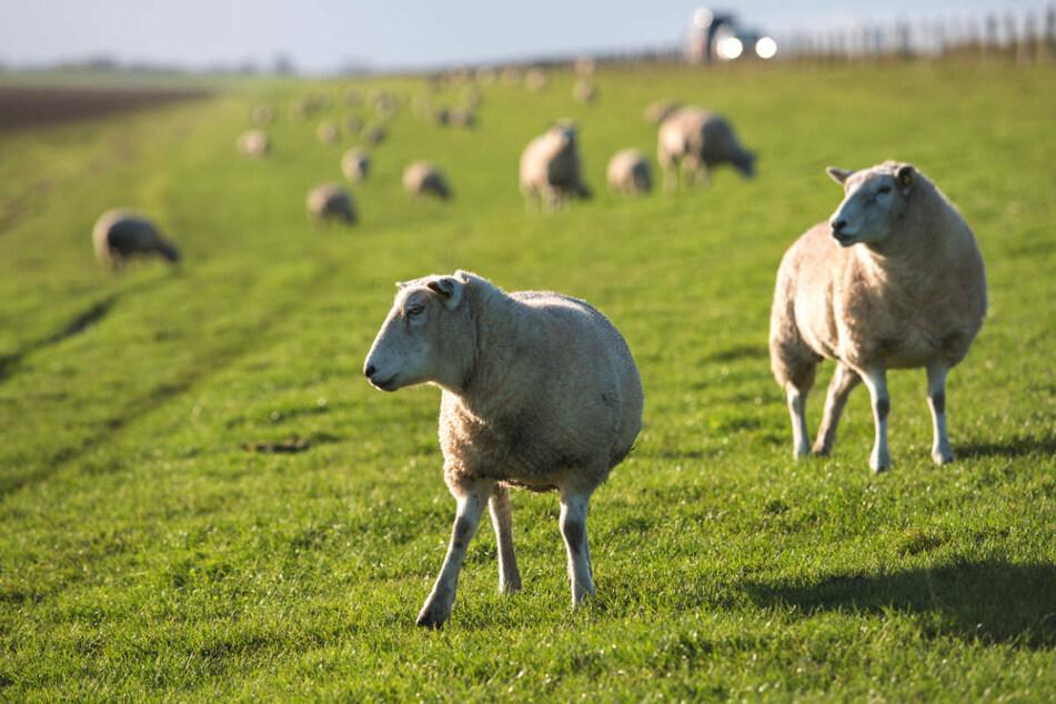 Auf der Naturschutzinsel Werder im Naturpark Usedom sind 15 tote Schafe aufgefunden worden, die vermutlich verhungert sind. (Symbolfoto)