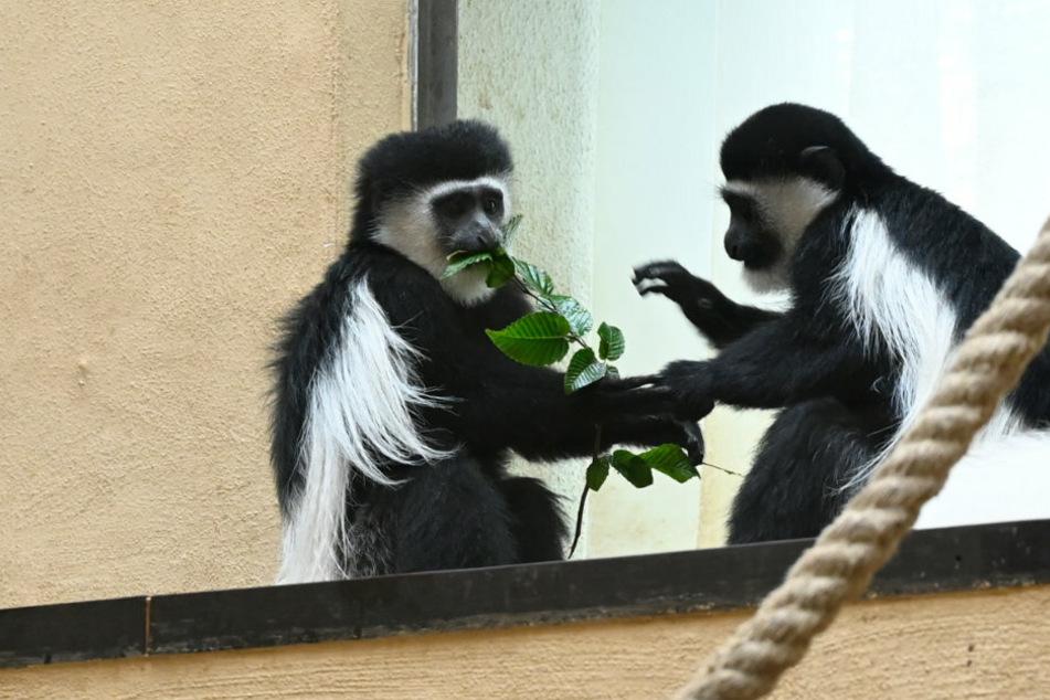 Zwei Affen essen Blätter von einem Ast in ihrem Gehege im Zoo (Symbolbild).