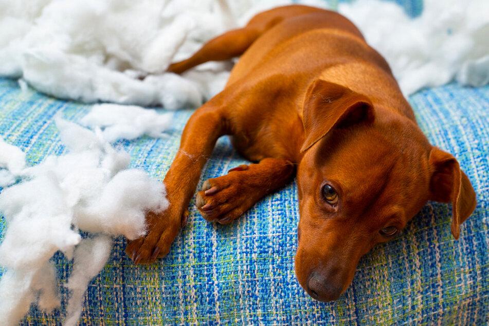 Zerstörte Möbel und panisches Winseln? Hunde müssen das Alleinbleiben erst lernen.