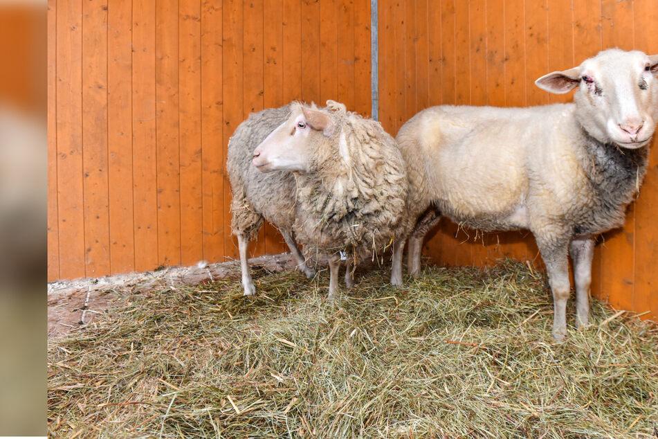 Mitten im Wolfsgebiet: Tierquäler setzten hilflose Schafe aus
