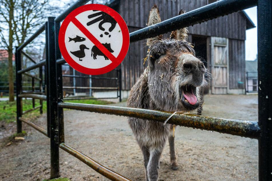 Chemnitz: Chemnitzer Tierpark schlägt Alarm: Ihr füttert unsere Esel tot!