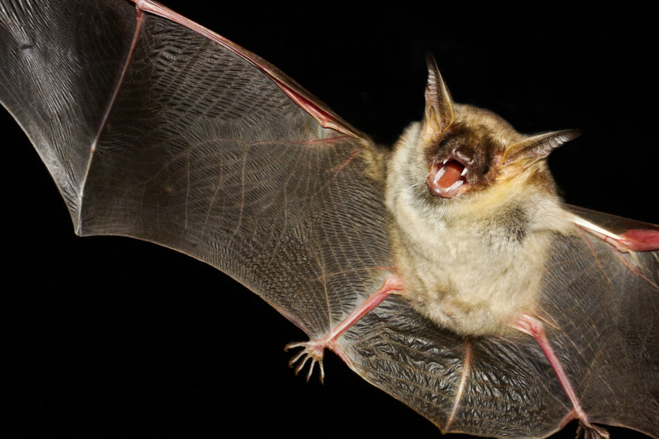Illinois man wakes up with bat on his neck and becomes first rabies victim since 1954!