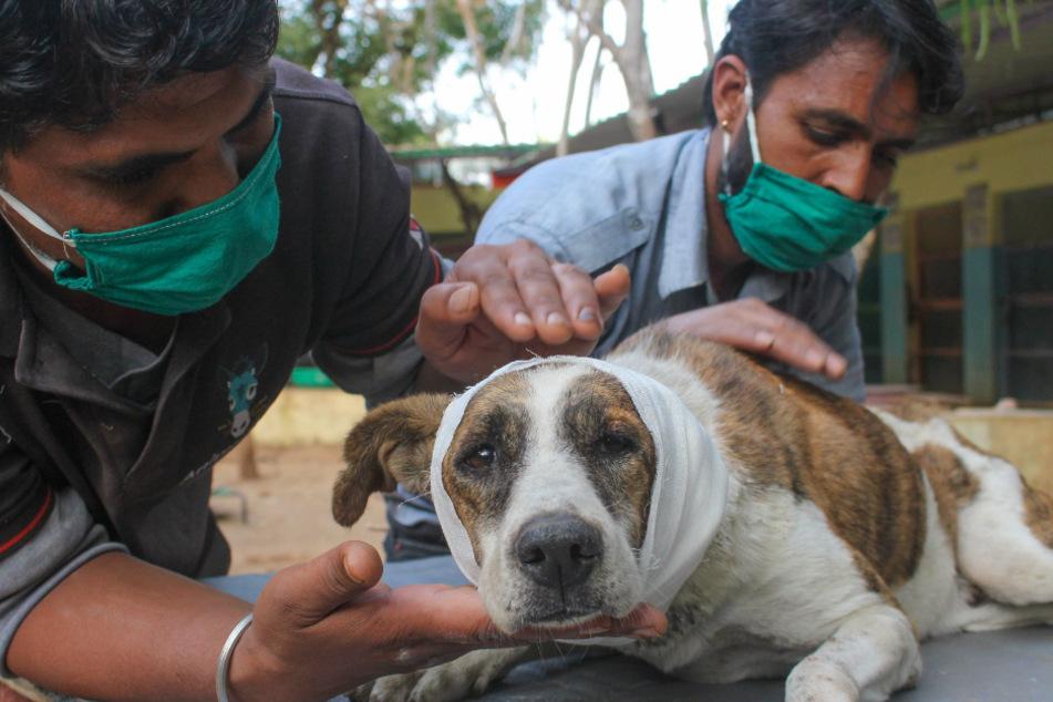 Sumit bekommt jetzt Streicheleinheiten und medizinische Hilfe.