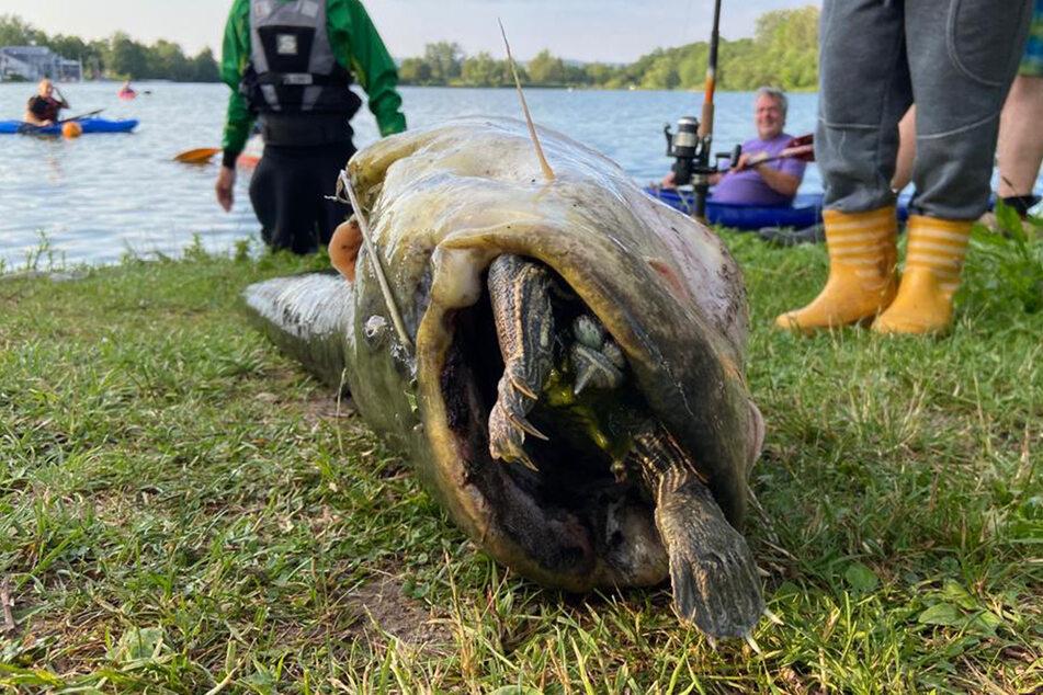 Paddler und Angler zogen den knapp 1,50 großen Wels an Land, der sich an der Schildkröte verschluckt hatte und daran starb.