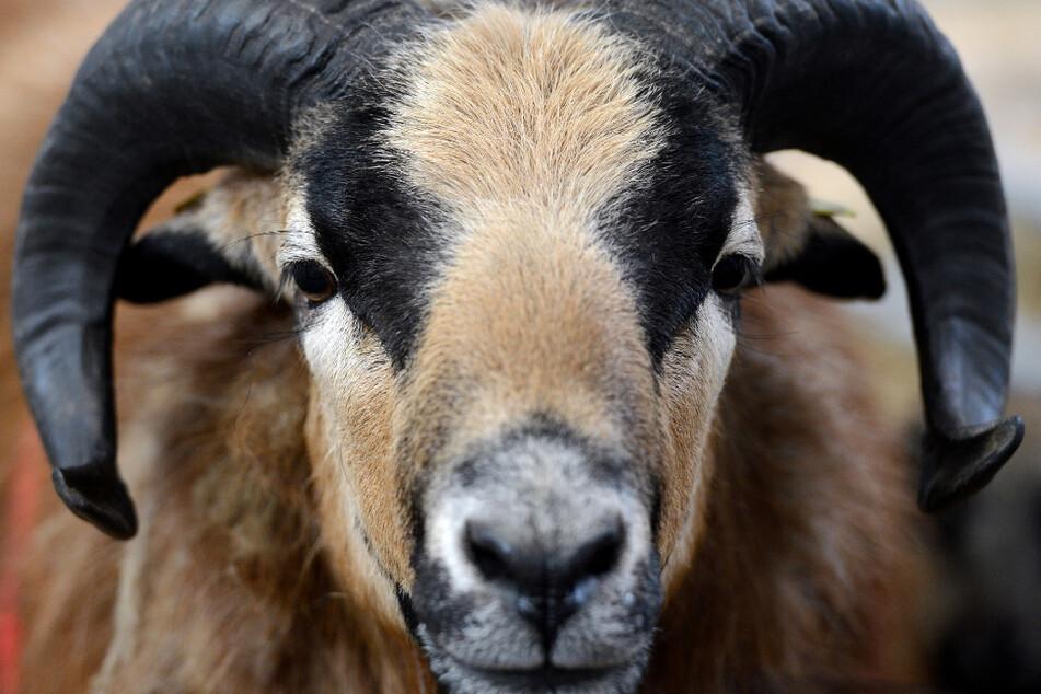 Schäfchen auf großer Reise: Polizei fängt entlaufene Tiere auf Weg zur Bundesstraße ein