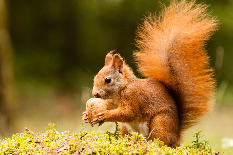 Bushy tailed, red, and extinct? British conservationists fear the worst