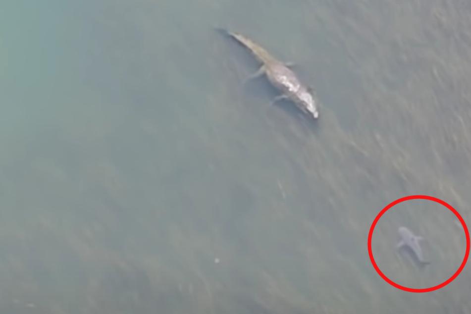 Während Kinder im Wasser spielen: Riesiges Krokodil trifft auf gefährlichen Hai