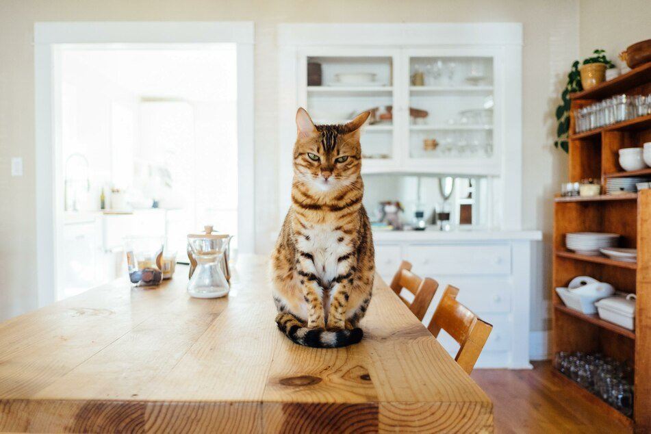 A reproachful look, an angry swipe of the paw, or pouting in the corner: cats react very differently to jealousy.