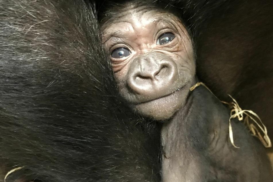 Die Aufnahme zeigt das Gorillaweibchen Zola mit ihrem Neugeborenen.