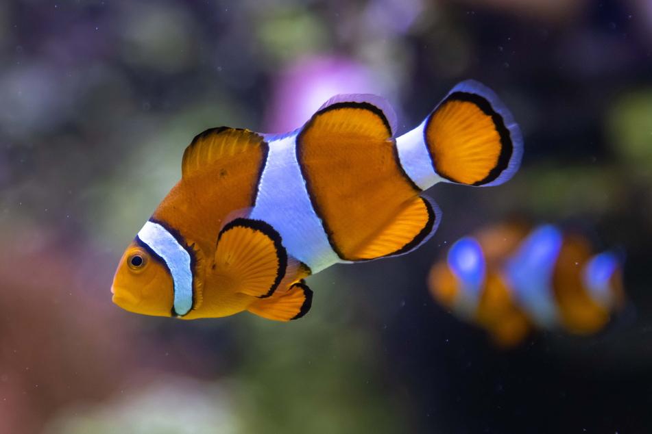 """Zum Knutschen! Clownfisch """"Nemo"""" und seine bunten Mitbewohner sind die Lieblinge"""