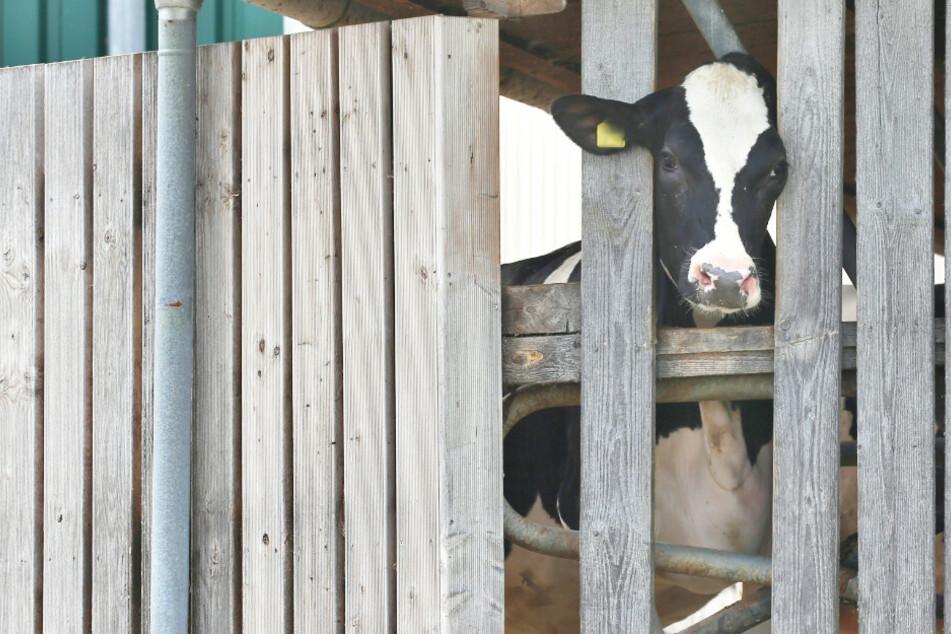 Tierschutz-Skandal im Allgäu: Anklage gegen Landwirte