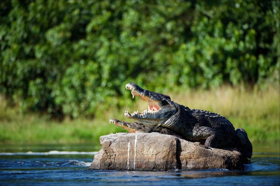 Drei Krokodile wurden getötet. (Symbolbild)