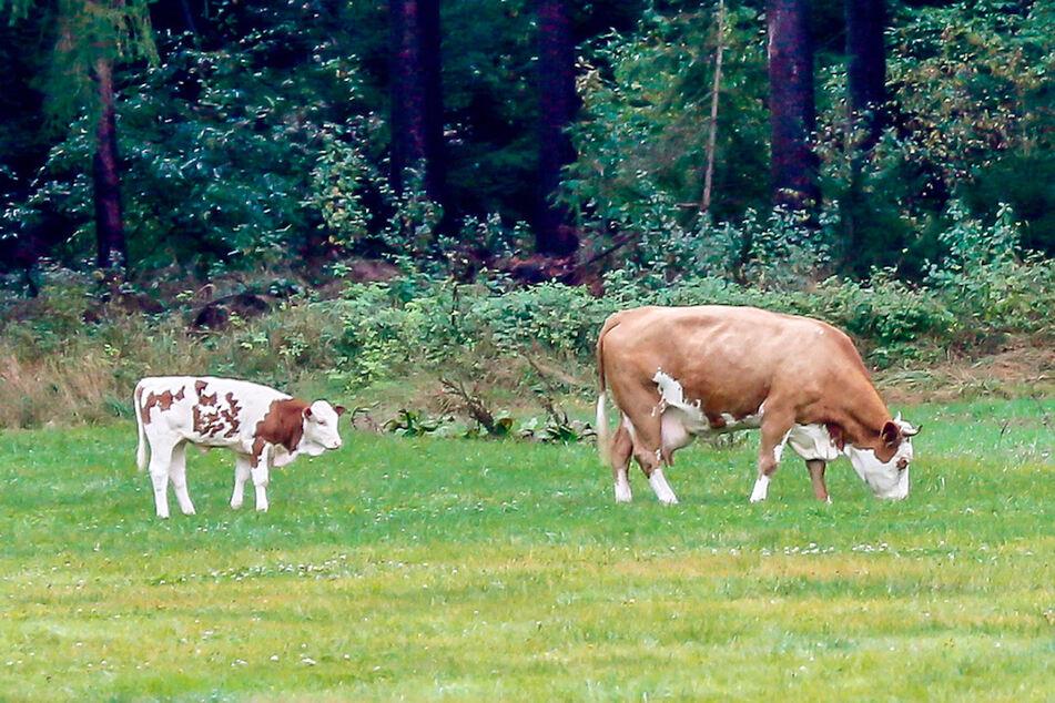 Nicht zu schnappen: Ausreißer-Kuh versteckt sich seit Monaten und hat sogar ein Kalb!
