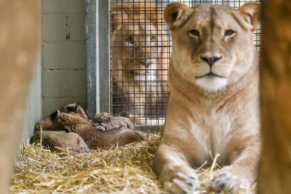 Hielt sich bisher im Hintergrund: Löwen-Papa Majo (4).