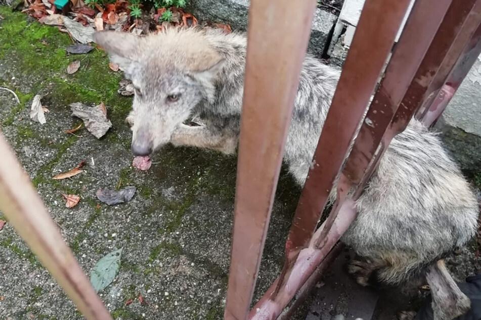 Dresden: Wolfswelpe blieb im Zaun stecken: Amt bezieht Stellung