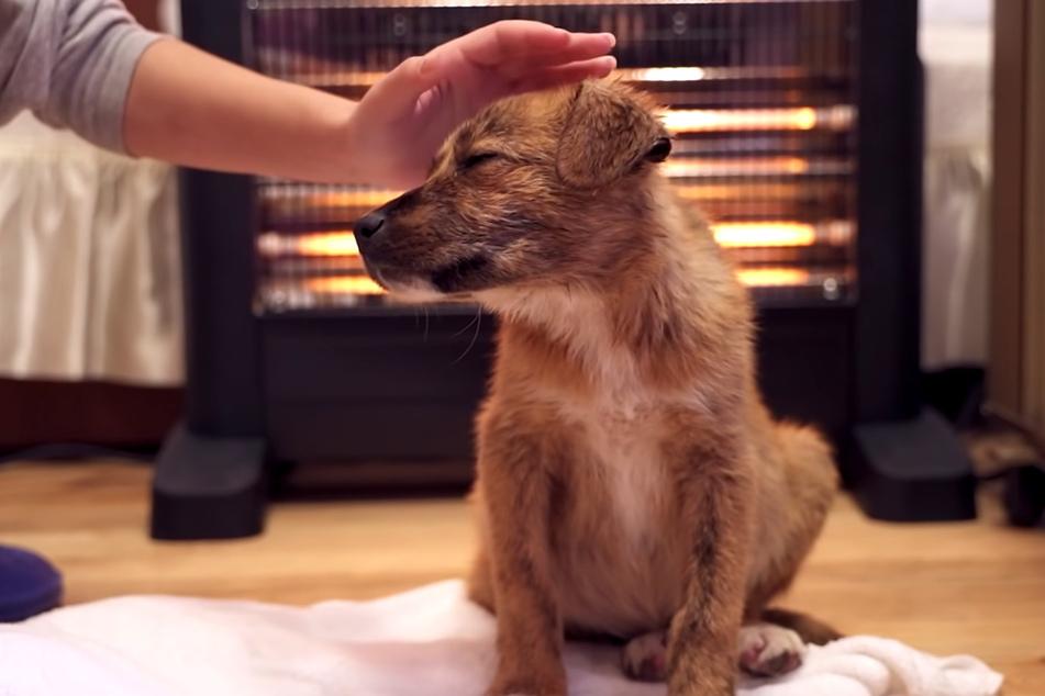Mit vollem Magen und frisch gebadet entspannt der kleine Hund vor dem Feuer – er wirkt sichtlich zufrieden, als er immer wieder wegnickt.