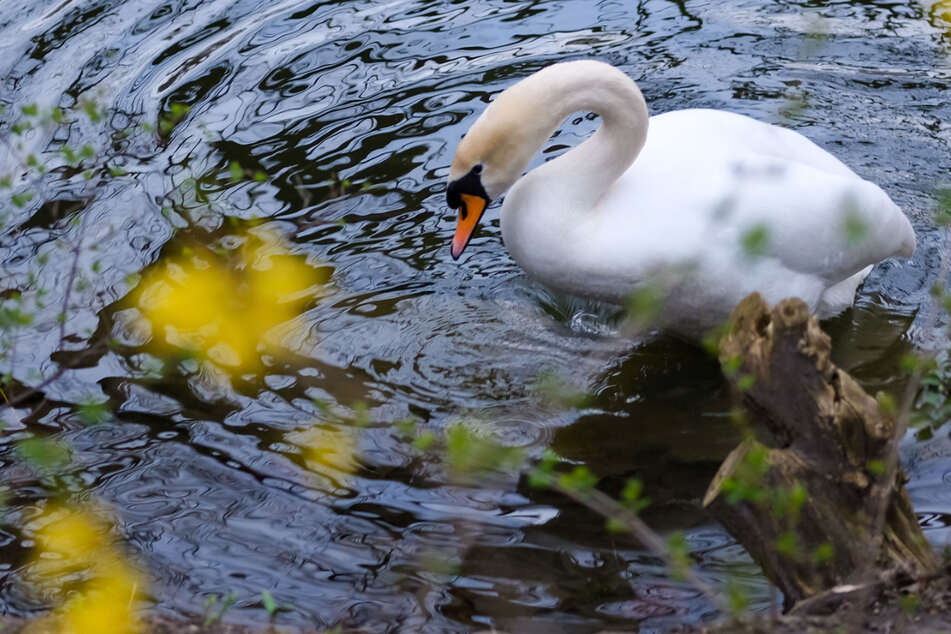 Pfeil im Körper: Verletzter Schwan schwimmt im Rhein, Retter haben kein leichtes Spiel