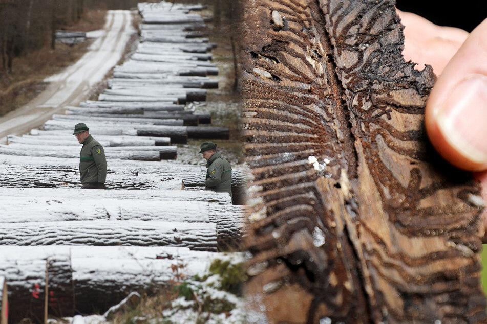 Endlich wieder Hoffnung für Sachsens Wälder: Frostwetter hilft gegen Borkenkäfer