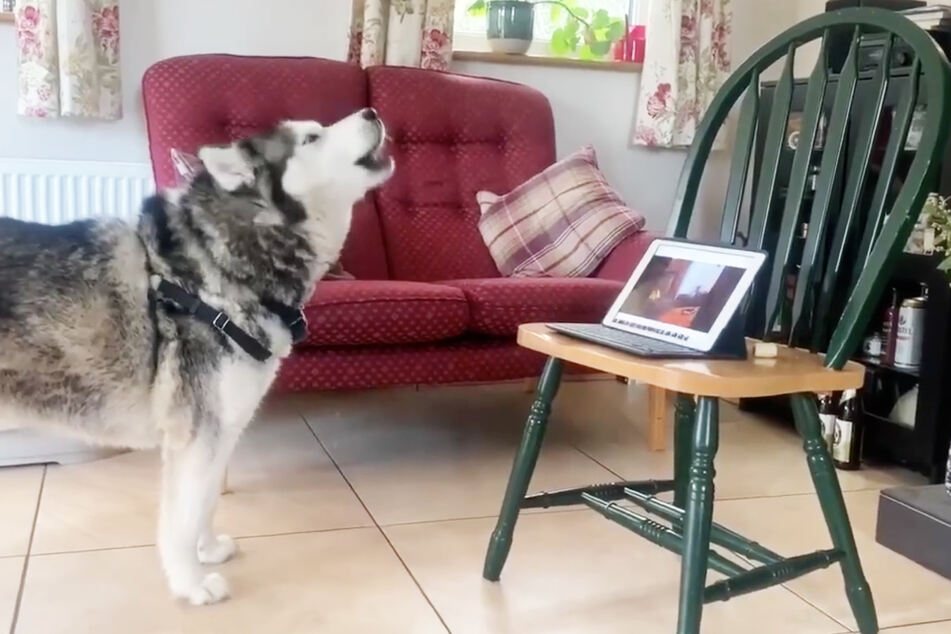 Ein Husky telefoniert über eine Videokonferenz mit einem anderen Hund.