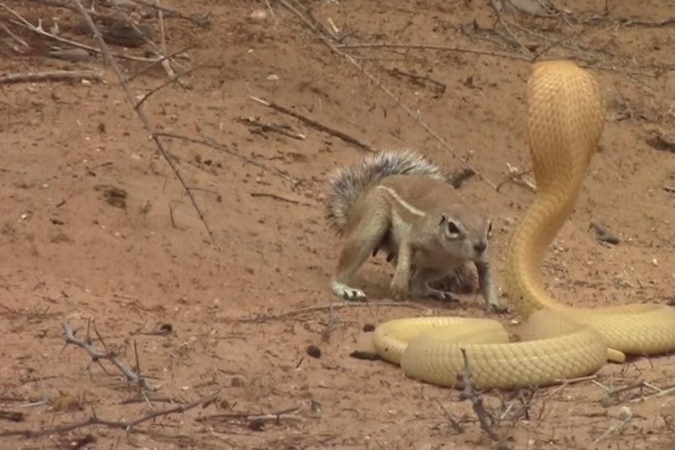 Tierischer Kampf: Eichhörnchen legt sich mit Kobra an