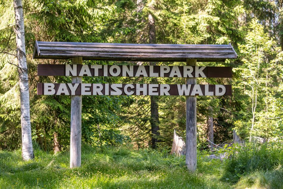 Das in Deutschland sehr seltene Tier wurde vor vier Wochen von einer Wildtierkamera im Nationalpark Bayerischer Wald fotografiert. (Archivbild)
