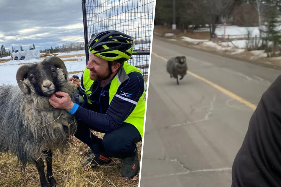 The fast and the curious: cyclist trailed by wooly pursuer!