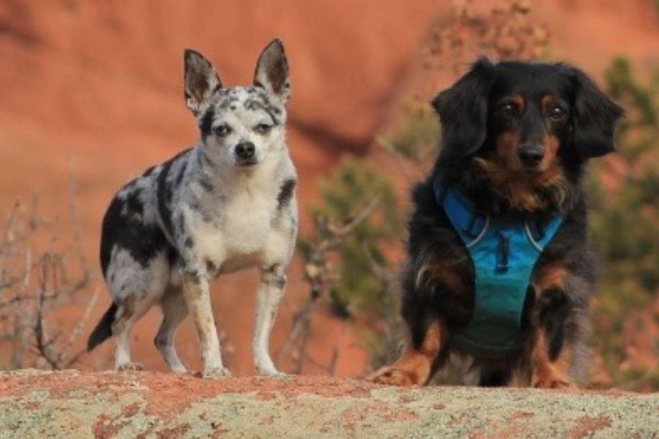 Dackel bekämpft Puma, um seinen besten Freund zu retten