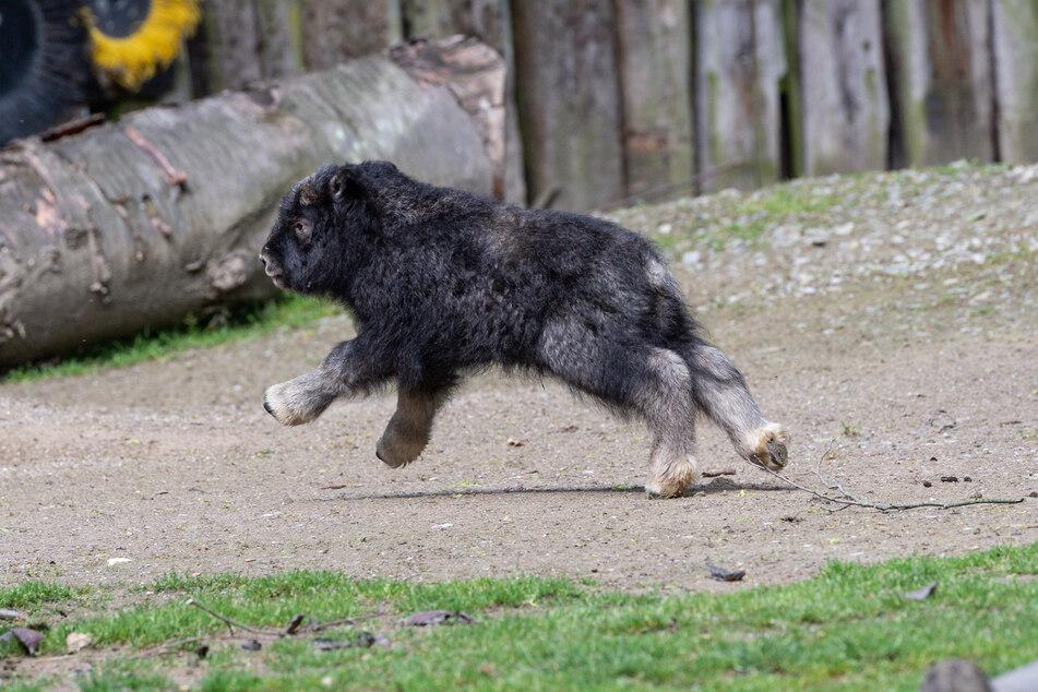Kürzlich sind im Gehege der Moschusochsen im Kölner Zoo zwei Jungtiere geboren worden. Das erste kam am 12. Mai zur Welt, einen Tag später folgte das zweite.