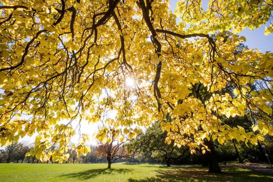 Die Sonne strahlt durch die herbstlich verfärbten Blätter eines Baumes im Rosensteinpark in Stuttgart - allerdings nicht in den kommenden Tagen!