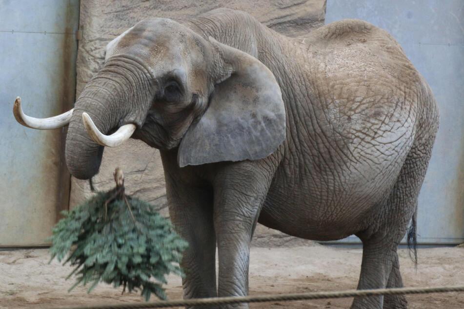 Die Elefantenkuh kam mit zwei Jahren in den Zoo.