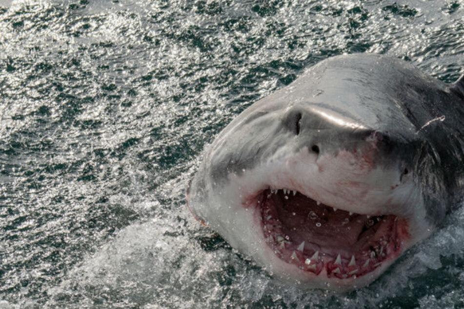 Ein Hai tötete einen 60-Jährigen an der Gold Coast. (Symbolbild)