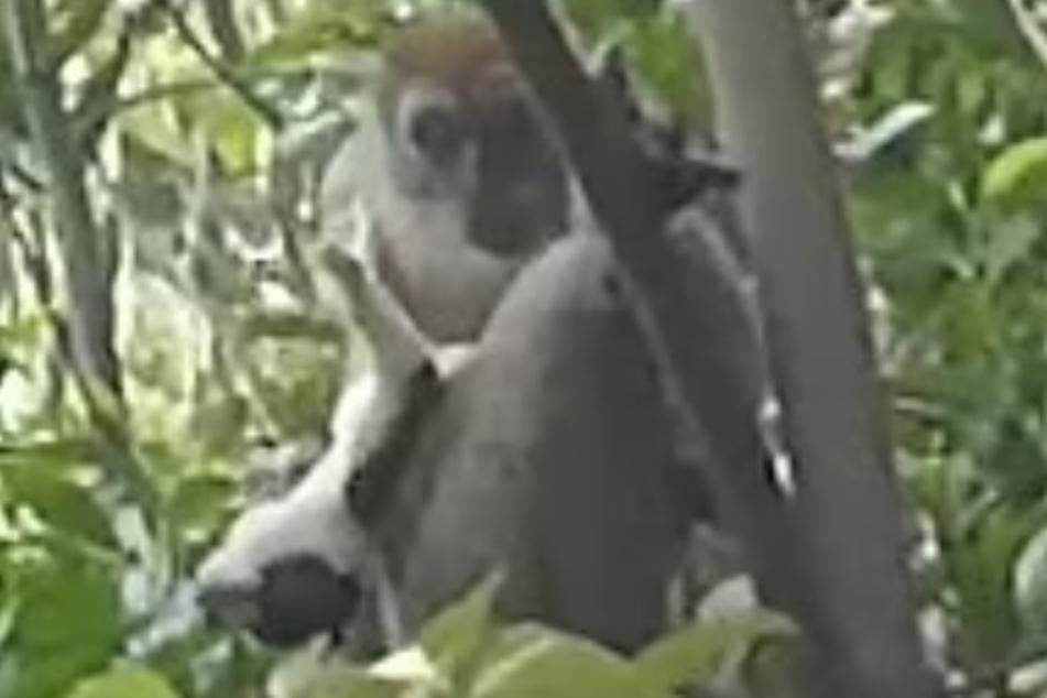 Drei Tage lang hält der Affe den Welpen gefangen.