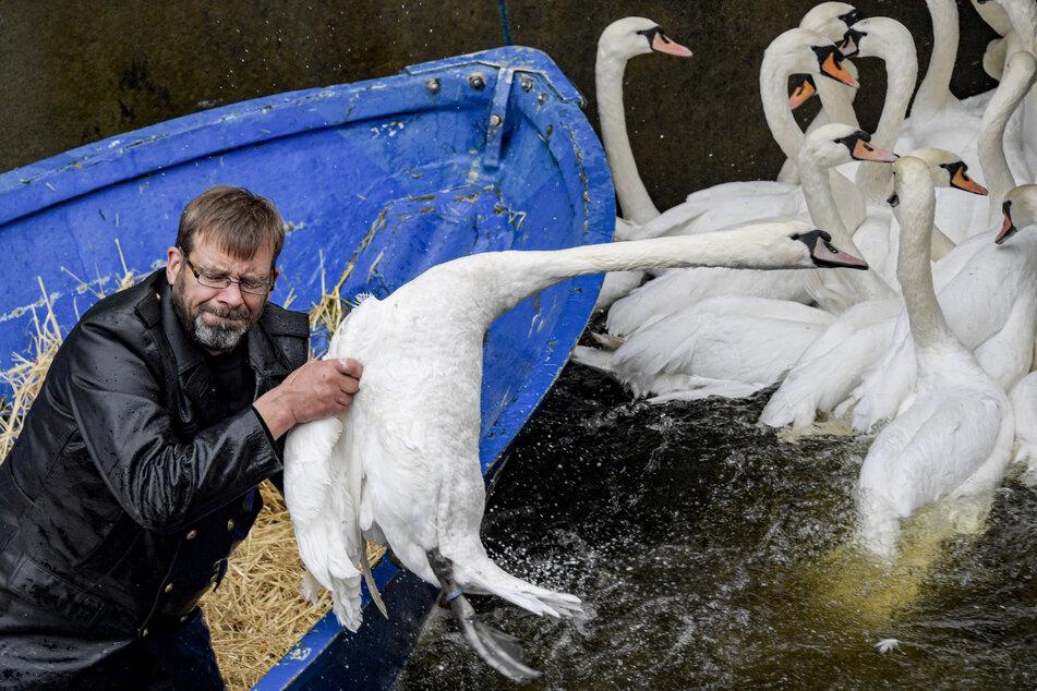 Olaf Nieß, Hamburgs Schwanenvater, zieht einen Schwan aus dem Wasser, um ihn ins Winterquartier zu bringen.