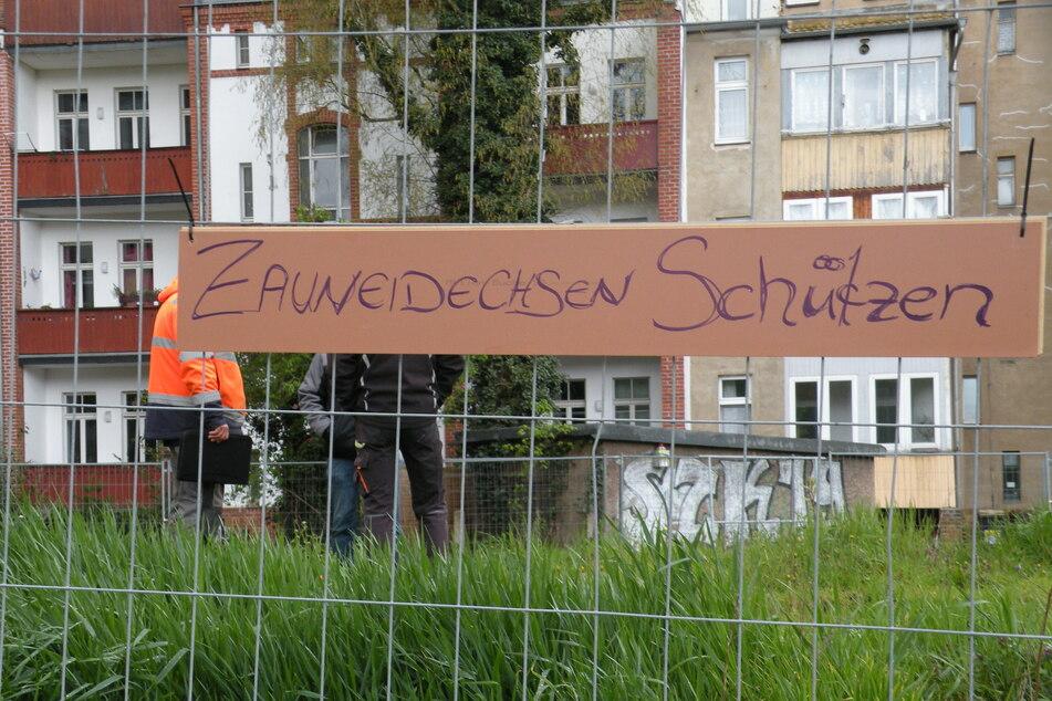 Auf dem Grundstück an der Hildebrandstraße leben Zauneidechsen - diese gelten als geschützte Art.