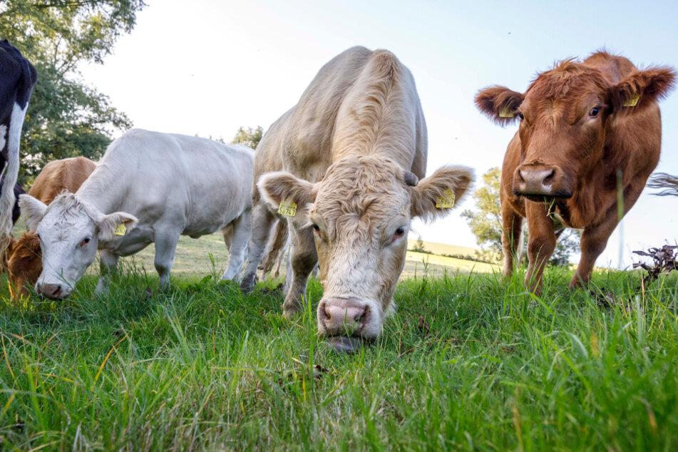 """Auf der so genannten """"Glücksweide"""" können die Rinder bis an ihr Lebensende grasen."""