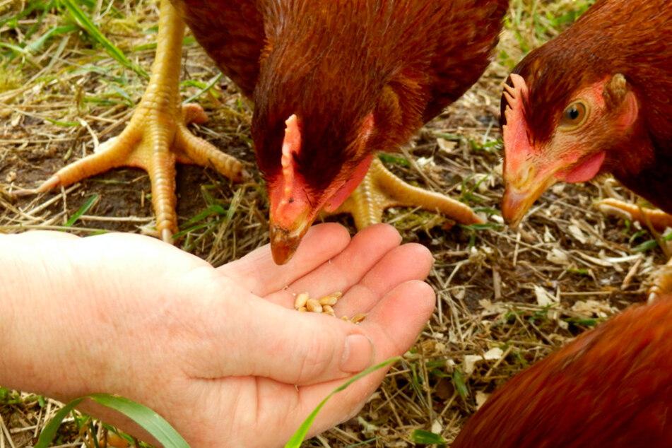 Das musst Du jetzt beachten, wenn Du Hühner hältst
