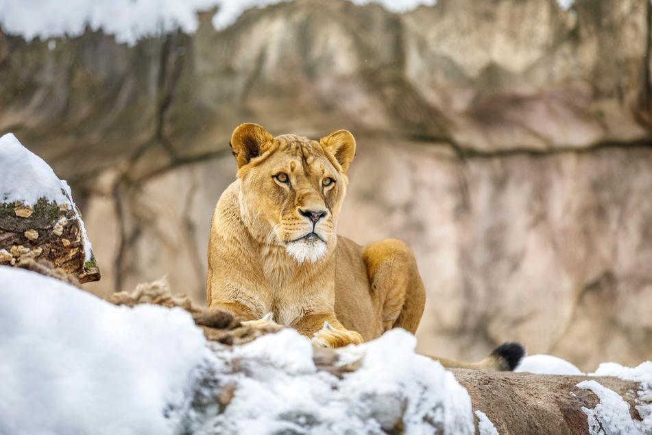 Kalt, aber herrlich ruhig für die scheuen Räuber: Die Löwen genießen die momentane Stille im Zoo.