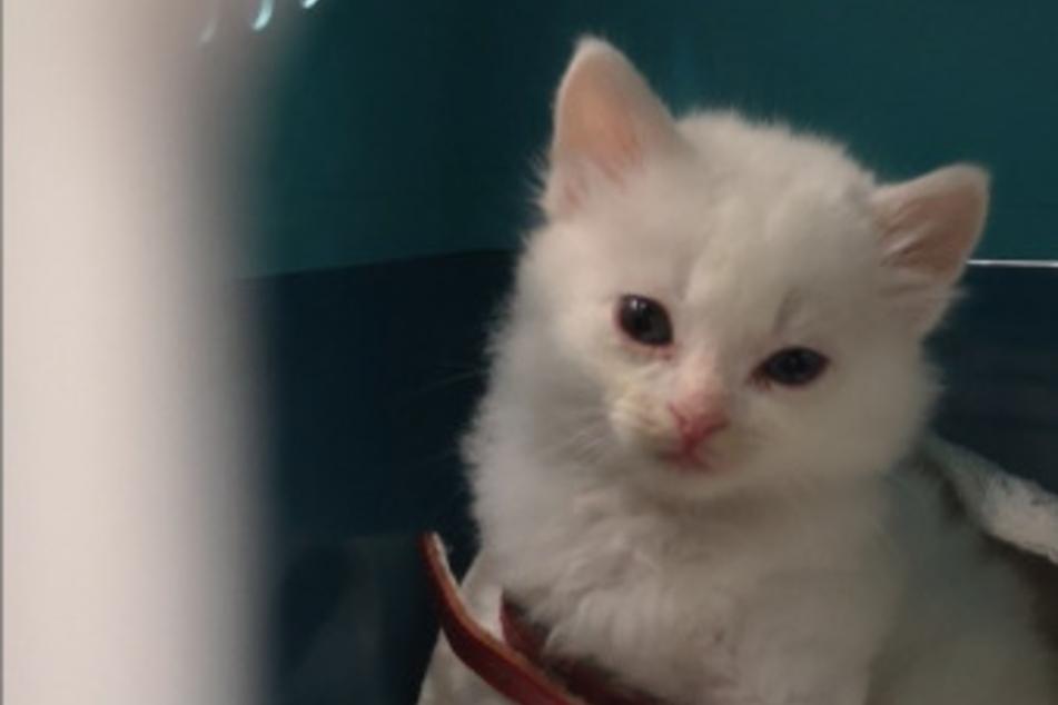 Trauriger Anblick: Reisender transportiert Katzen-Baby im Handgepäck